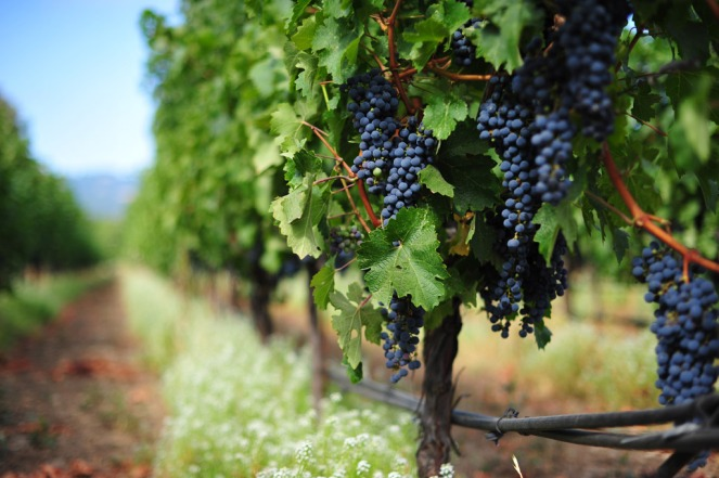 vineyard-main
